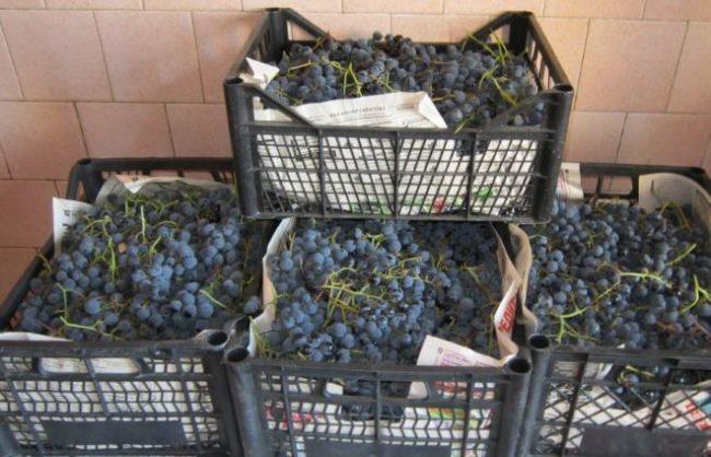 Урожай винограда сорта Таежный в пластиковых ящиках перед переработкой на сок