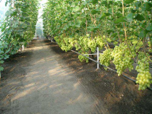 Грозди зеленого винограда на кустах в теплице