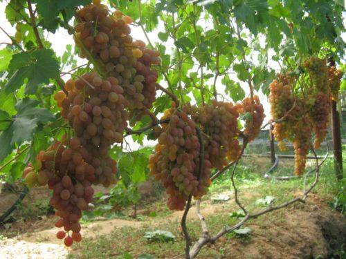 Виноградник с крупными розовыми гроздями