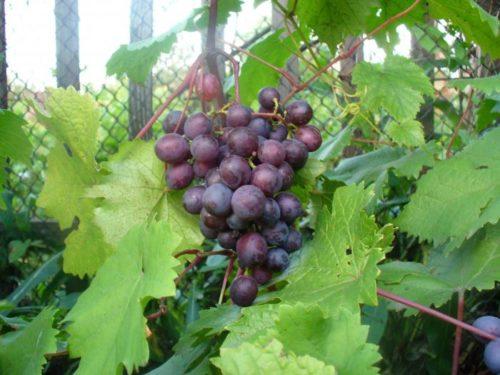 Небольшая ветка синего винограда в листве