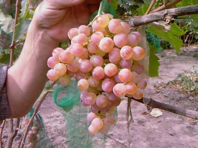 Человек в руке держит кисть розового винограда