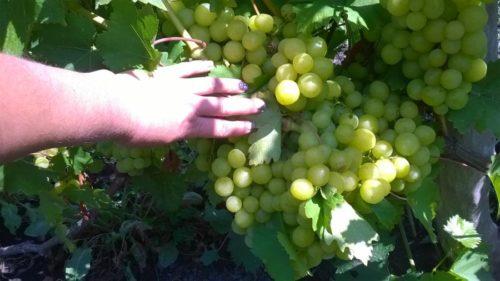 Женская рука показывает кисть зелёного винограда