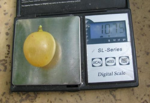 Ягода столового винограда Валек массой около 10 грамм на карманных весах