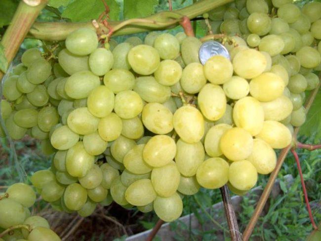 Виноградная лоза и грозди созревающих ягод светло-зеленого окраса