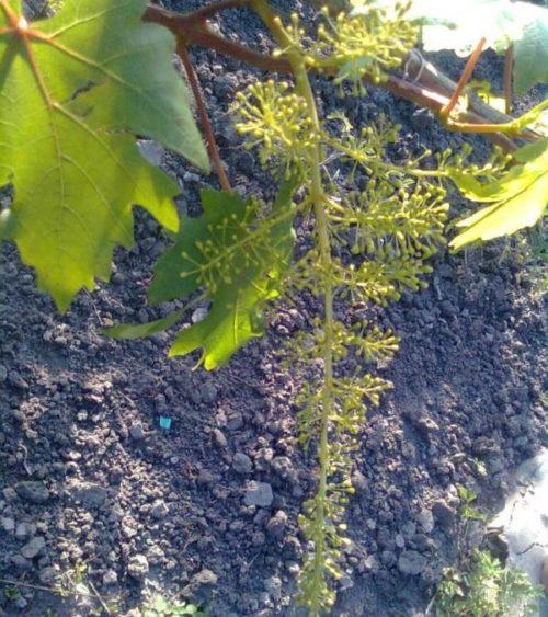 Соцветие винограда гибридного сорта Валек после обработки стимулятором роста