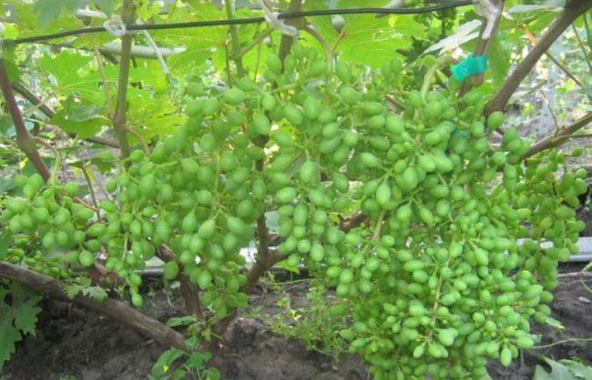Завязи плодов столового винограда сорта Валек после успешного опыления