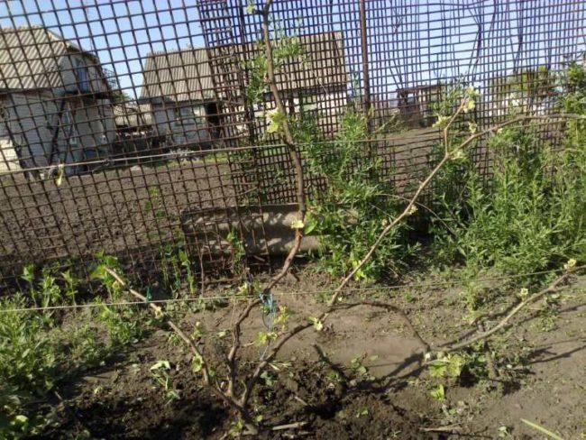 Куст винограда с длинными рукавами на шпалере ранней весной