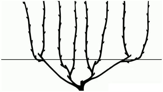 Схема бесштамбового веерного формирования куста винограда с выводом четырех рукавов