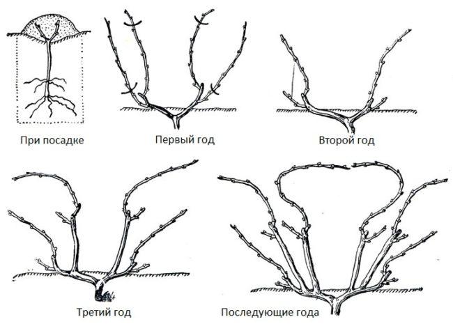 Схемы веерной обрезки плодового винограда при посадке и в последующие года