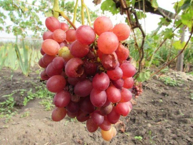На грозди винограда Велес осы
