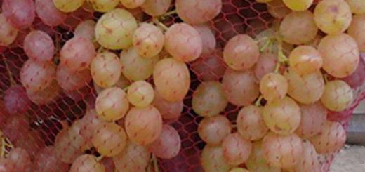 Виноград сорта Велес в сетке против птиц плоды