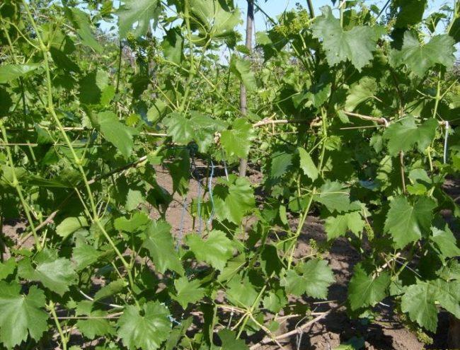 Гибкие ветви винограда с темно-зелеными листьями на самодельной шпалере