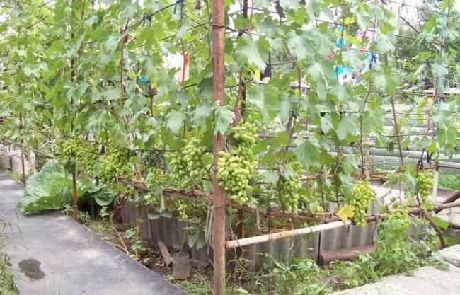 Куст винограда сорта Виктор с гроздьями созревающих ягод на самодельной шпалере