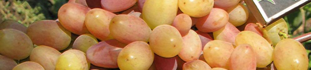 Спелые и созревающие плоды винограда сорта Виктор