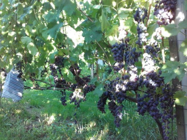 Куст винограда на шпалере с гроздьями спелых плодов темно-синего окраса