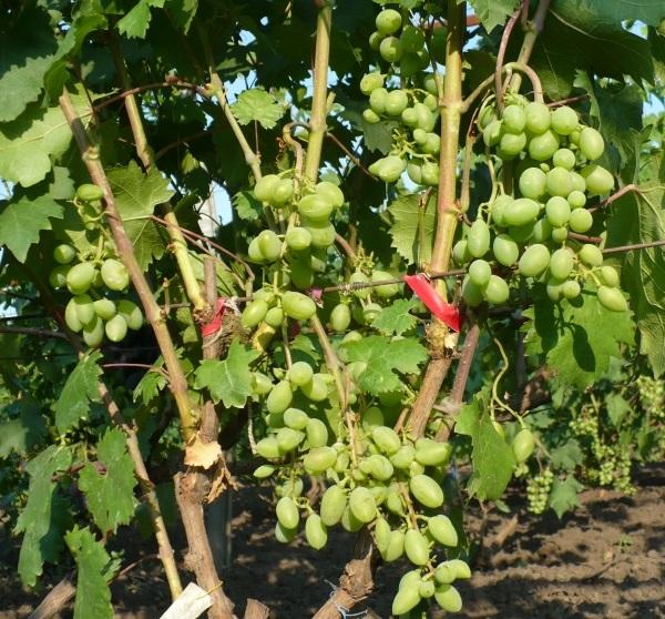 Рыхлые грозди винограда с ягодами зеленого цвета и красные ленточки подвязки