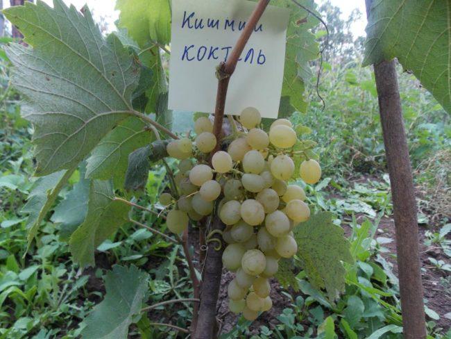 Гроздь спелого винограда десертного сорта Коктель с ягодами без косточек