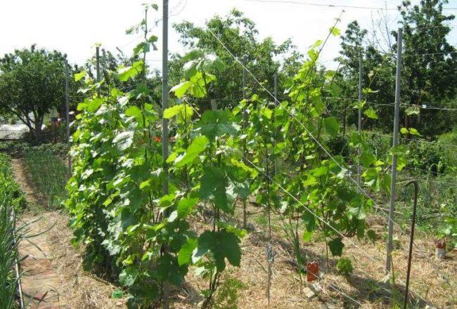 Кусты молодого плодового винограда на шпалерах в начале лета