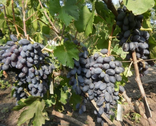 Ветка винограда с гроздьями созревающих плодов сине-черного оттенка