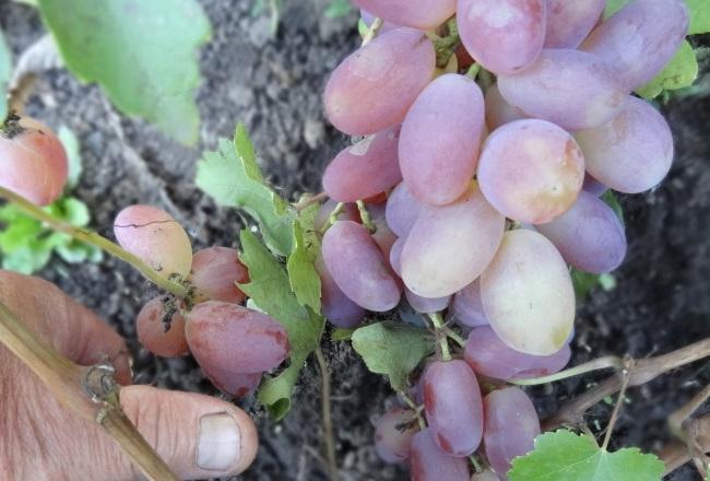 Сигнальная гроздь винограда гибридной формы Потомок Ризаната
