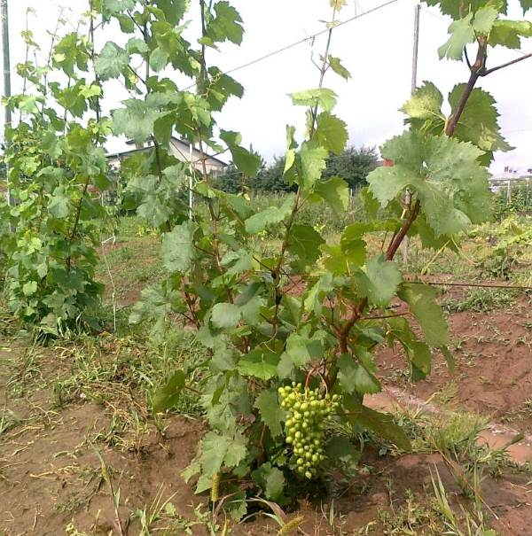 Куст винограда столового сорта Алешенькин на втором году вегетации и сигнальная гроздь среднего размера