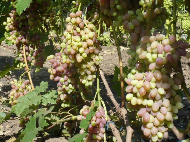Грозди столового винограда с ягодами различной степени спелости