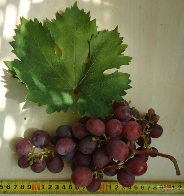 Кисть винограда сорта Джони с мелкими горошинками и зеленый лист
