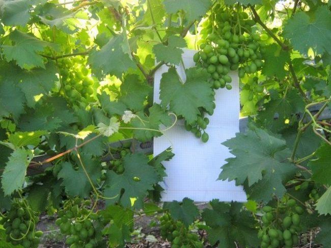 Завязи плодов и листья столового винограда сорта Низина от селекционера Крайнова