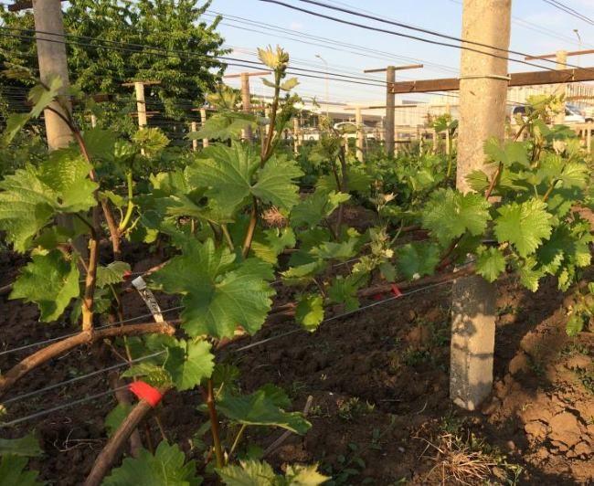 Куст плодового винограда гибридной формы Краса Балок в начале роста побегов