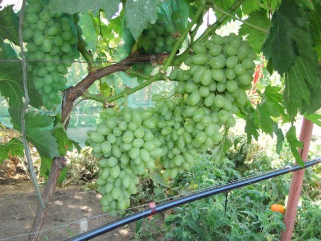 Толстая ветка винограда с крупными гроздьями зеленых плодов вытянутой формы