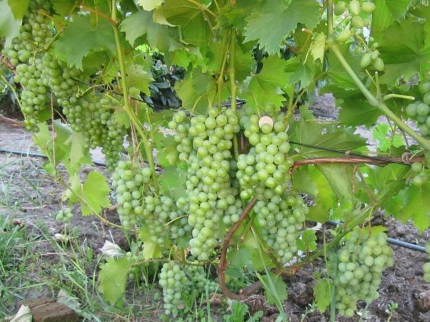 Взрослый куст винограда сорта Дружба и грозди зеленоватых ягод