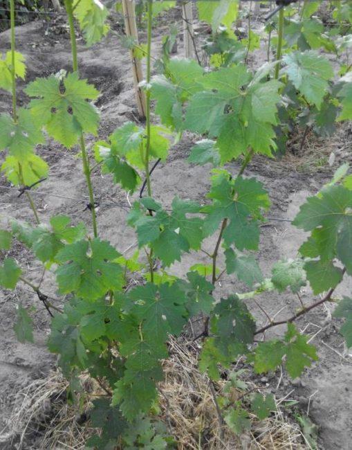 Молодые побеги винограда на проволочной шпалере в начале лета