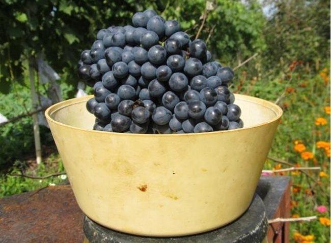 Крупная гроздь синего винограда сорта Красень в пластиковой чашке