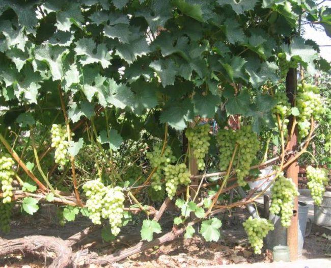 Взрослый куст столового винограда с гроздьями созревающих плодов