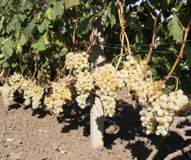 Кисти созревшего винограда на кусту сорта Антоний Великий с плодами янтарного окраса