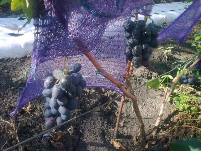 Две небольшие по размерам грозди синего винограда и сетка для защиты от ос