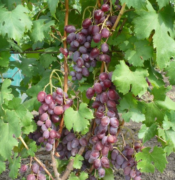 Грозди винограда с ягодами вытянутой формы и ярко-малинового окраса