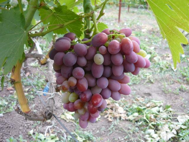 Крупная кисть винограда с ягодами от розового до красно-фиолетового цвета