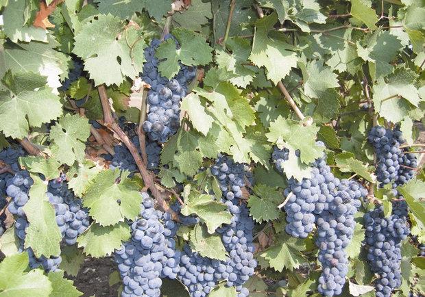 Виноградная лоза технического сорта с гроздьями средних по размеру ягод темно-синего цвета