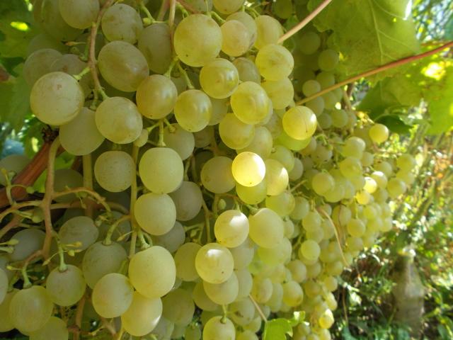 Спелые плоды винограда желто-зеленого окраса на ветках гибридного сорта Краса Севера