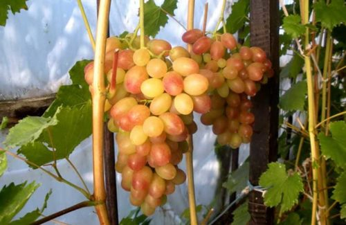 Крупная кисть бело-розового винограда растёт на ветке
