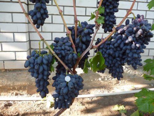 Виноградная лоза трехлетнего куста сорта Академик с гроздьями спелых плодов темно-синего окраса