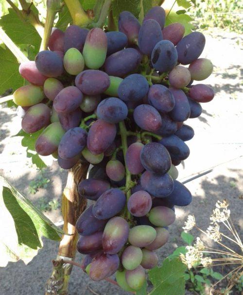 Гроздь винограда гибридной формы Академик в период окрашивания плодов