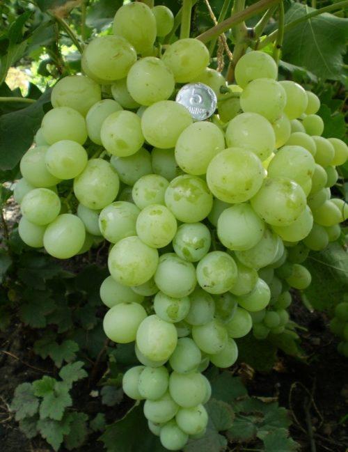 Крупная кисть винограда гибридного сорта Антоний Великий и монетка между ягод