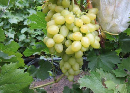 Гроздь винограда сорта Аркадия с плодами ярко янтарного цвета с восковым отливом
