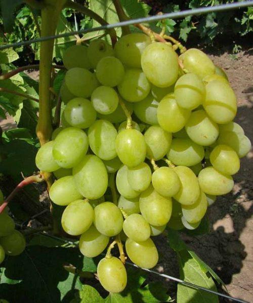 Крупная виноградная гроздь гибридной формы Аркадия с янтарными ягодами