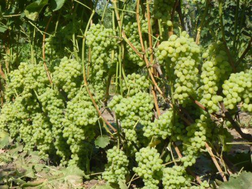 Обильный урожай столового винограда гибридной формы Августин