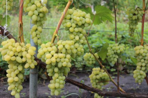 Виноградная лоза под нагрузкой гибридного сорта Ангустин