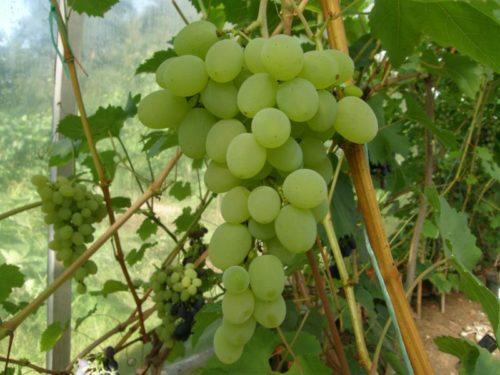 Кисть столового винограда сорта Августин с ягодами светло-зеленого оттенка