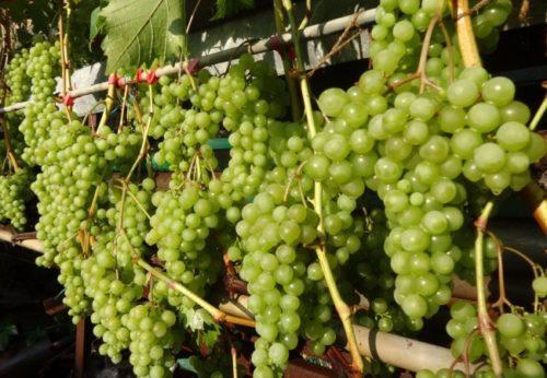 Виноградная лоза сорта Дружба под нагрузкой